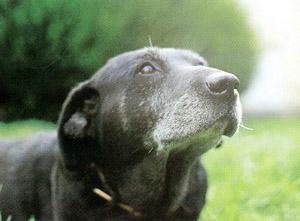 Vieux_chien